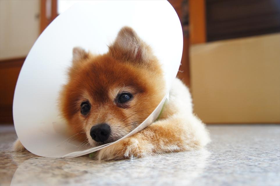 エリザベスハットを被った犬