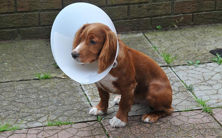 エリザベスハットをかぶった犬